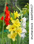 Gladiolus In The Garden. Yello...