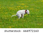 Small photo of Dog, bullterrier craps in a grass