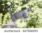 Stock photo tabby cat jumping outdoors in garden 667006093