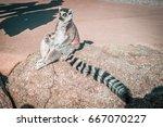 ring tailed lemur sitting in...   Shutterstock . vector #667070227