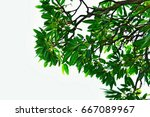 green leaves and branches on... | Shutterstock . vector #667089967