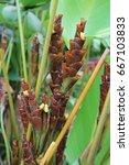 calathea lutea | Shutterstock . vector #667103833