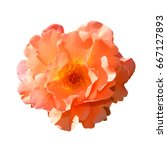 bright orange rose isolated on... | Shutterstock . vector #667127893