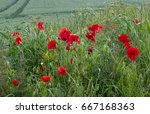 poppies growing by crop field...   Shutterstock . vector #667168363