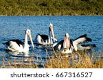 group of pelicans fishing at... | Shutterstock . vector #667316527