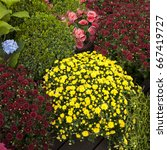 Small photo of Multicolored shrub chrysanthemums, begonias, artifacts and ornamental shrubs for sale