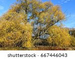 Stock photo golden old willow tree 667446043