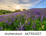 sunset on a hill covered with... | Shutterstock . vector #667501027