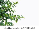 the leaves of the banyan tree... | Shutterstock . vector #667508563