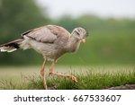 Small photo of Red-legged seriema (Cariama cristata). Prehistoric terror bird relation. Evolutionary throwback.