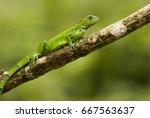The Green Iguana  Iguana Iguan...