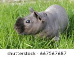 hairless guinea pig in grass | Shutterstock . vector #667567687