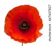 bright red poppy flower... | Shutterstock . vector #667637827