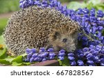 Hedgehog. The European Hedgeho...