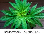 seedling of cannabis in... | Shutterstock . vector #667862473