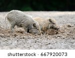 small wild boar in the forest...   Shutterstock . vector #667920073