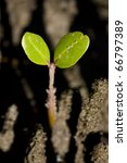 Small photo of A Baby Mangrove Sprouts Up With Two Green Leaves From The Ground Of A Silty Tropical Salt Water Wetland