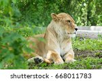 Resting Lioness In A Zoo Close...