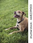 Small photo of American Pit Bull Terrier in Green Grass Smiling and Panting on Hot Summer Day in the Shade
