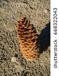 Fallen Sugar Pine  Pinus...