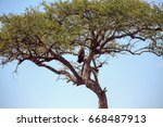 Small photo of Tawny eagle in a balanites tree