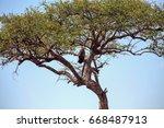 Small photo of Tawny eagle in a balanites tree