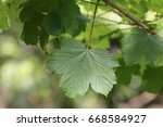 Small photo of Acer campestre plant