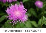 Centaurea Dealbata  Persian...