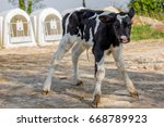 Young Calf Holstein In A...