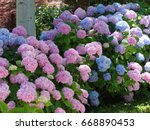 Hydrangeas   Flowering Pink An...