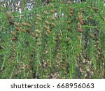 Small photo of Tamarack (Larix Americana) or Hackmatack or American Larch pine cones