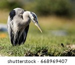 great blue heron  | Shutterstock . vector #668969407
