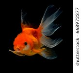 gold fish isolated on black... | Shutterstock . vector #668972377