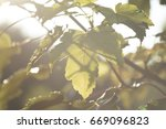 Small photo of Acer glabrum