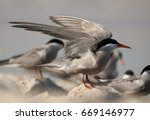 white cheeked tern  raising its ... | Shutterstock . vector #669146977