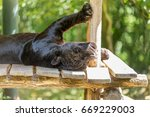 Black Jaguar Sleeping With Its...
