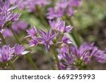 Small photo of Allium unifolium or Persian Onion.