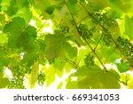 Unripe Vine Background Photo