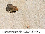 Small photo of On a hot summer day near Charleston, West Virginia, a large warty Eastern American Toad holds motionless and waits as summer insects scurry past.