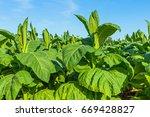 Tobacco Big Leaf Crops Growing...