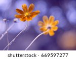 flower cosmos with beautiful... | Shutterstock . vector #669597277