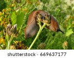 Small photo of Red brown slug (Arionoidea, family: Arionidae) crawling on yellow flower together with a lot of little black beetles in july, in Ahlbershausen, Lower Saxony, Germany