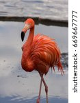 Small photo of a beautiful single American flamingo walking on the coast