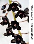 Black Orchid Fredclarkeara ...
