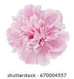 beautiful pink peony isolated... | Shutterstock . vector #670004557