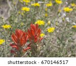 Indian Paintbrush With Yellow...