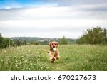 Stock photo cocker spaniel puppy runs with ball in mouth 670227673