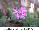 geranium fragrance  pelargonium ... | Shutterstock . vector #670231777