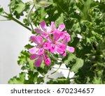 geranium fragrance  pelargonium ... | Shutterstock . vector #670234657