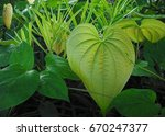 Small photo of Invasive species air potato vine has heart shaped leaves / Air potato vine